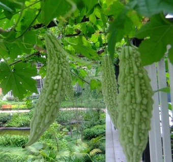 10 Pieces Vegetable Fruits Bitter Seed Plant Seeds - intl