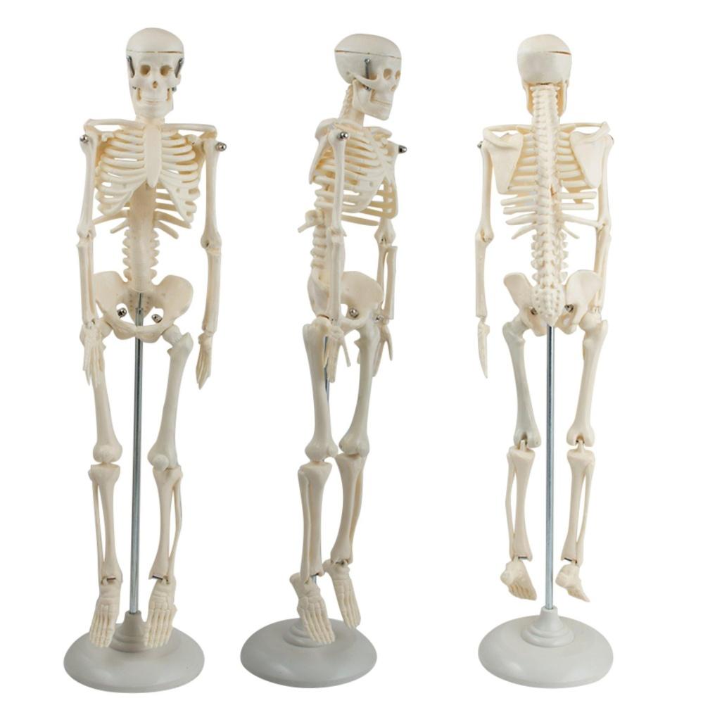 Human Skeleton Anatomy Model Images - human body anatomy