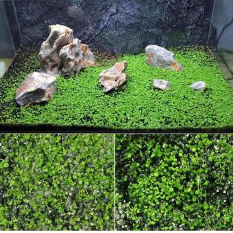 Hot Selling 10g/lot Aquarium Green Grass Seeds Water Aquatic Plant Seeds Mini Double Leaves Water Plants Home Garden - intl