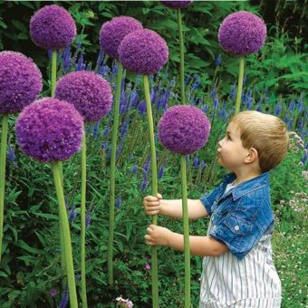 Harga 20pcs Allium Giganteum Seeds Plant DIY Home Garden - intl