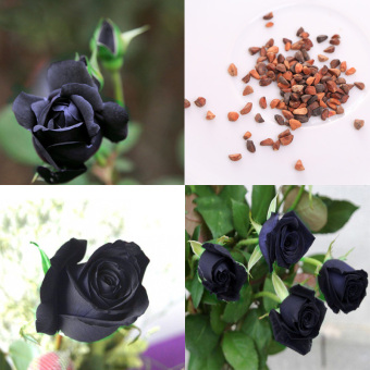 100Pcs Black Rose Flower Plant Seeds Flower Home Garden Flower Plants - intl Price Philippines