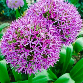 Purple Giant Allium Giganteum Flower Seeds Garden Plant Set of 10 - intl