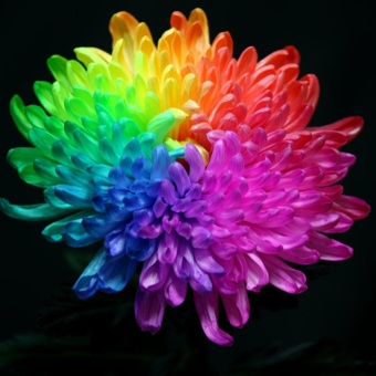 Sunshop 20Pcs Rainbow Chrysanthemum Plant Seeds Indoor Planting Flowers Home Garden - intl