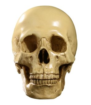1:1 Human Skull Resin Model Anatomical Medical Teaching Skeleton Yellow
