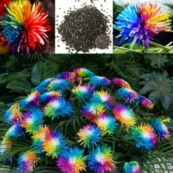Elife 20Pcs Rainbow Chrysanthemum Seeds Rare Flowers Seed - intl