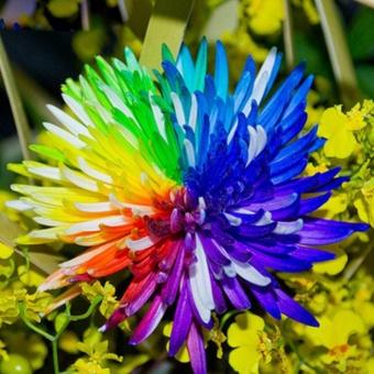 Elife 20Pcs Rainbow Chrysanthemum Seeds Rare Flowers Seed - intl - 4
